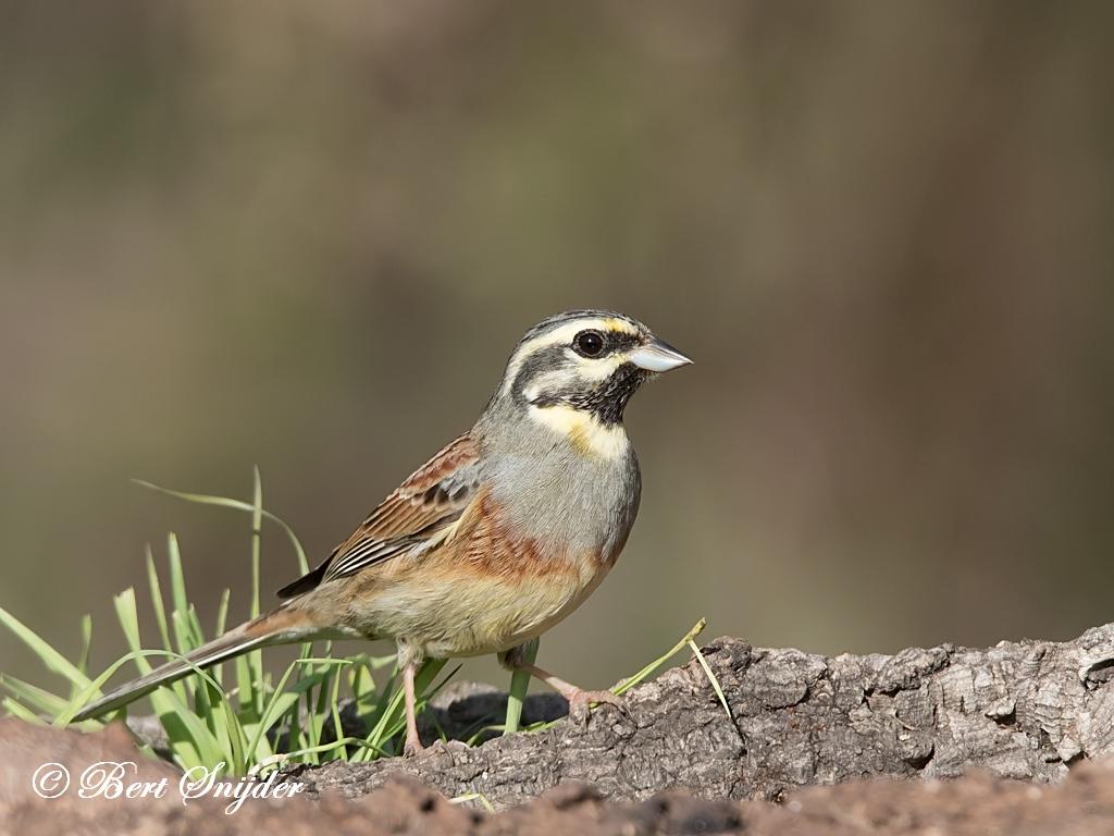 Cirgors Vogels Portugal