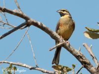 Cirlgors Vogelreis Portugal