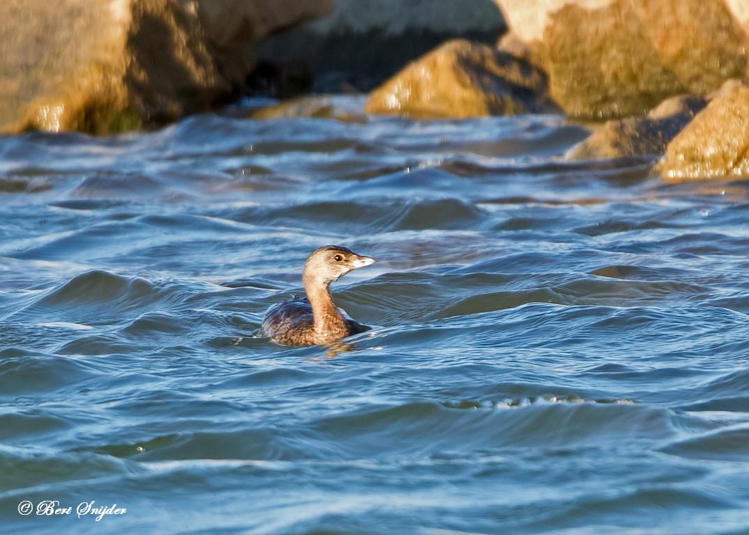 Dikbekfuut Vogelvakantie Portugal