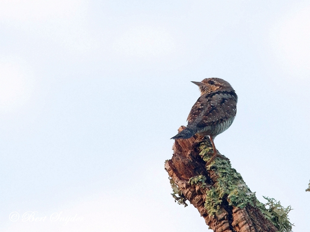Draaihals Vogelreis Portugal