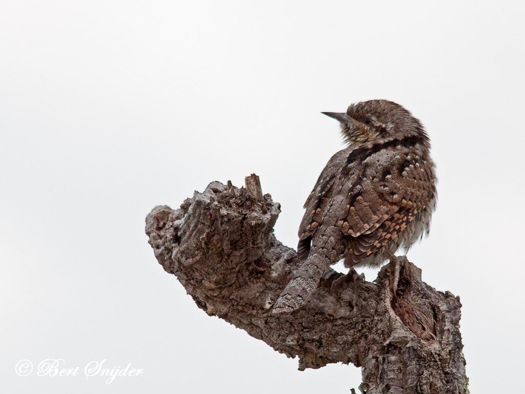 Draaihals Vogelvakantie Portugal