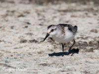 Drieteenstrandloper Vogelreis Portugal