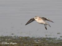 Drieteenstrandloper Vogelvakantie Portugal