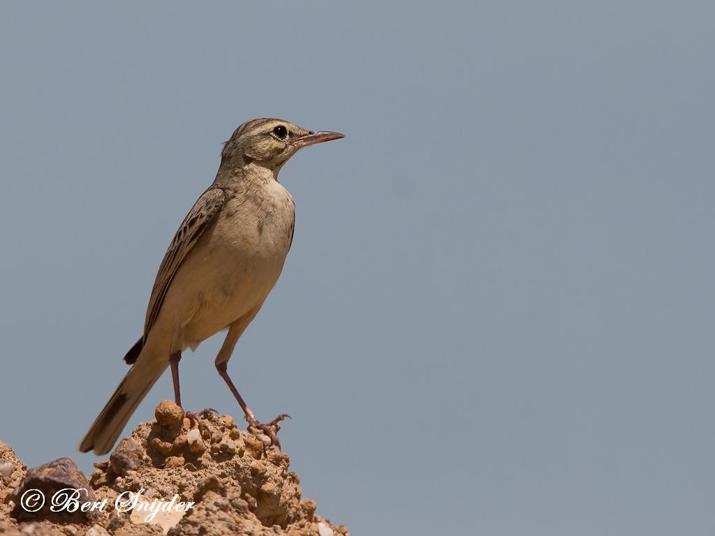 Duinpieper Vogelreis Portugal