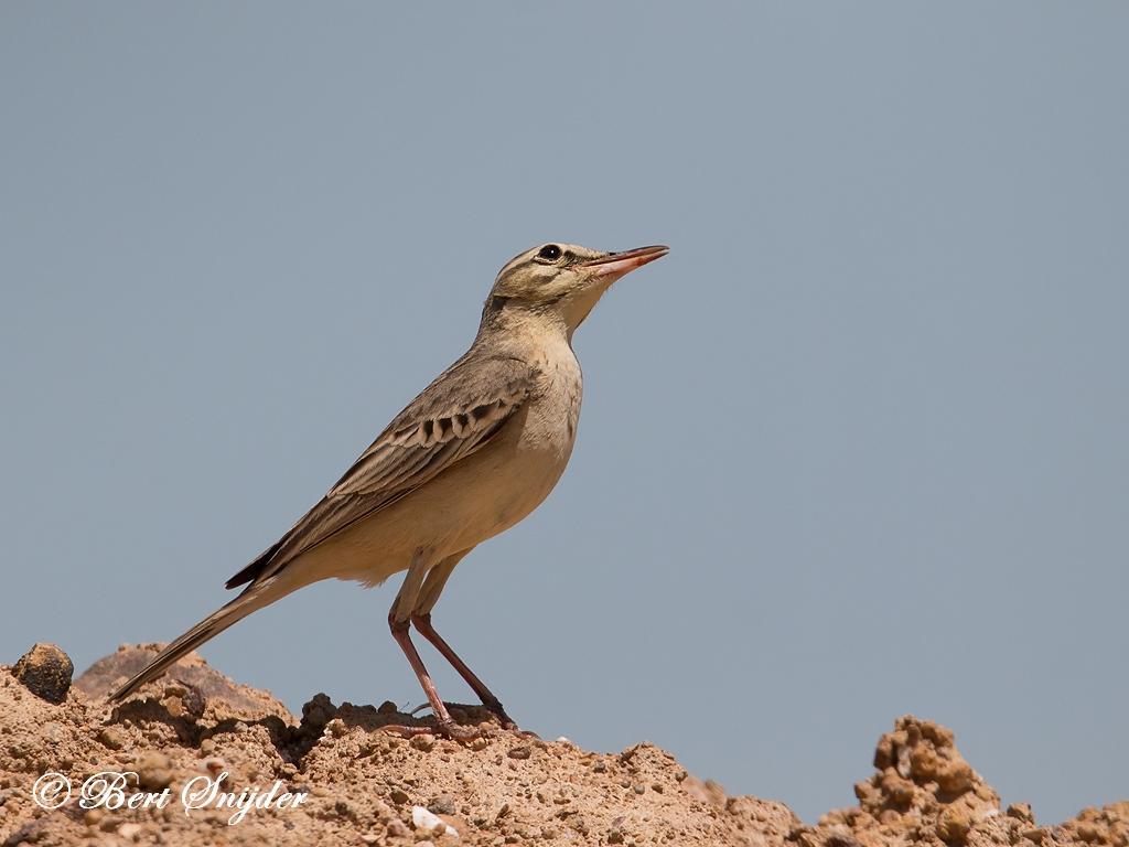 Duinpieper Vogelvakantie Portugal