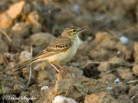 Duinpieper Vogelfotografiereis Portugal