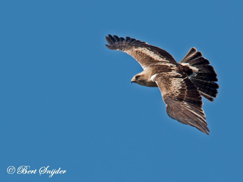 Dwergarend Vogelvakantie Portugal