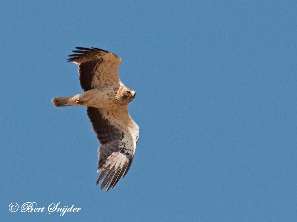 Dwergarend Vogelreis Portugal