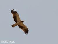 Dwergarend Vogelfotografiereis Portugal