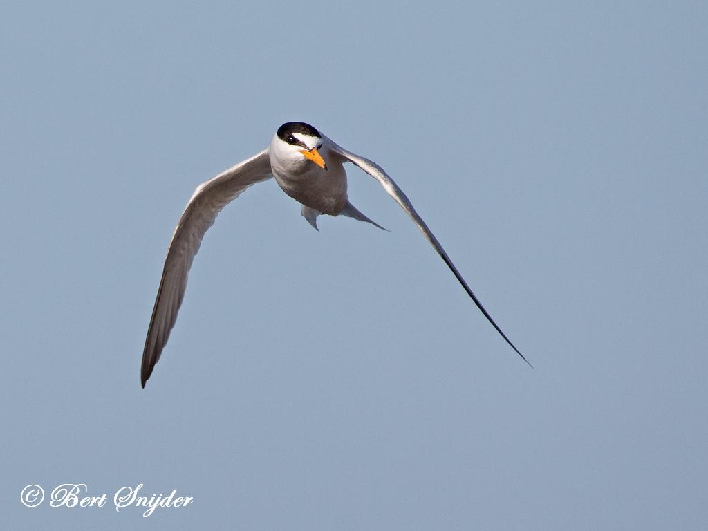 Dwergstern Vogelkijkhut BSP3 Portugal