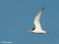 Dwergstern Vogelreis Portugal