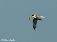 Dwergstern Vogelvakantie Portugal