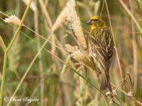 Europese Kanarie Vogelvakantie Portugal