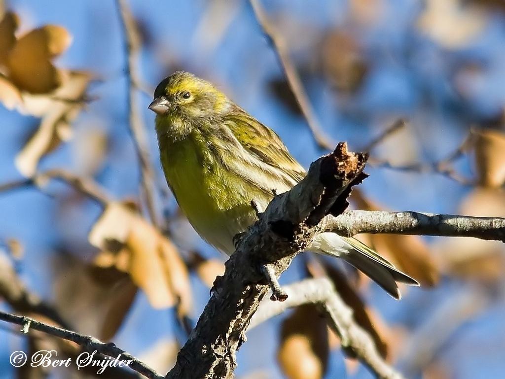 Europese Kanarie Vogelreis Portugal