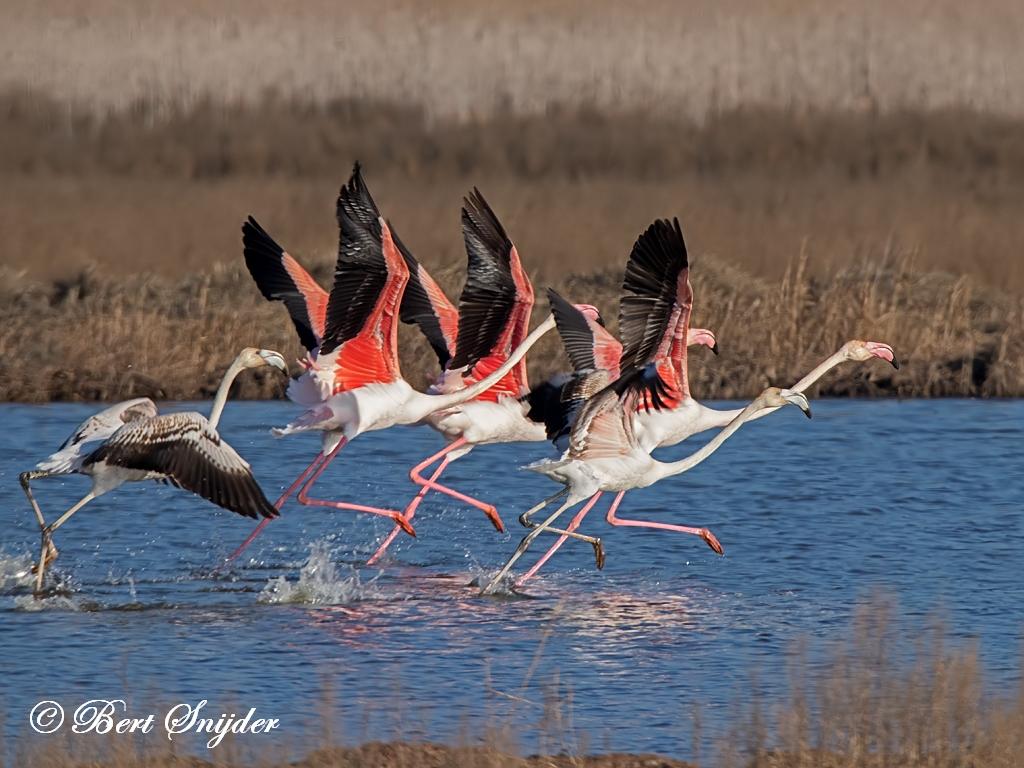 Flamingo Vogelhut BSP2 Portugal