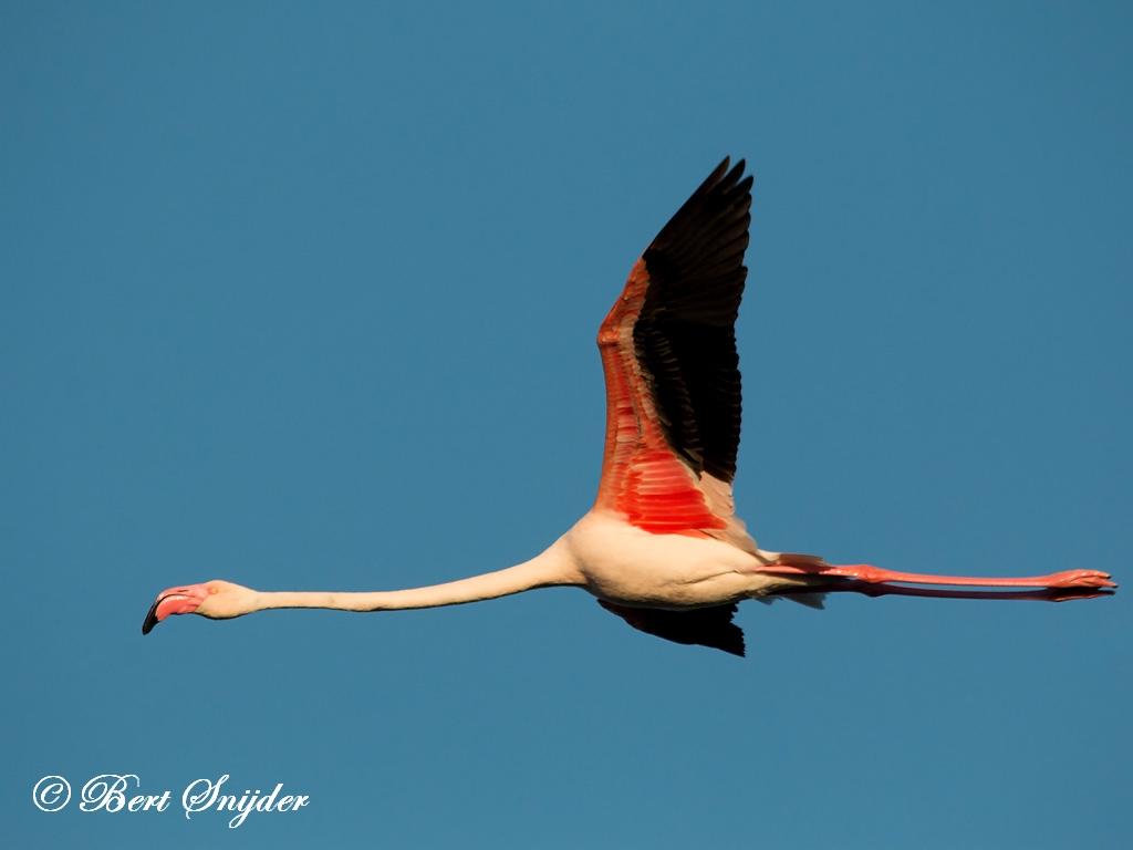 Flamingo Vogelreis Portugal