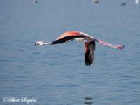 Flamingo Vogelfotografie reis Portugal