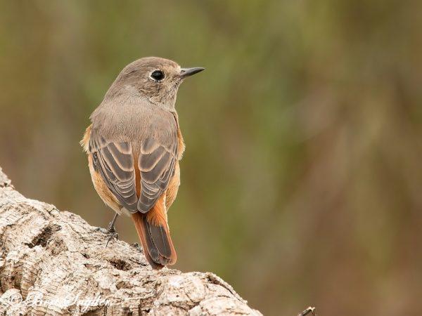 Gekraagde Roodstaart Vogelreis Portugal