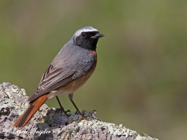 Gekraagde Roodstaart Vogeljut BSP1 Portugal