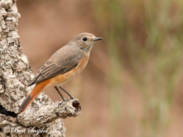 Gekraagde Roodstaart Vogelvakantie Portugal