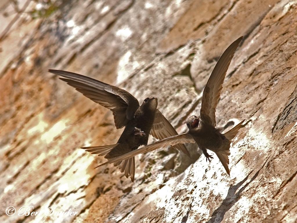 Gierzwaluw Vogelreis Portugal
