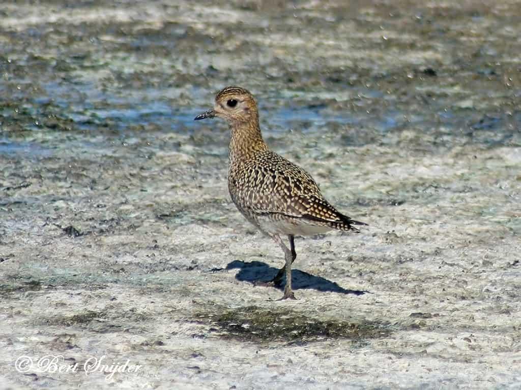 Goudplevier Vogelvakantie Portugal