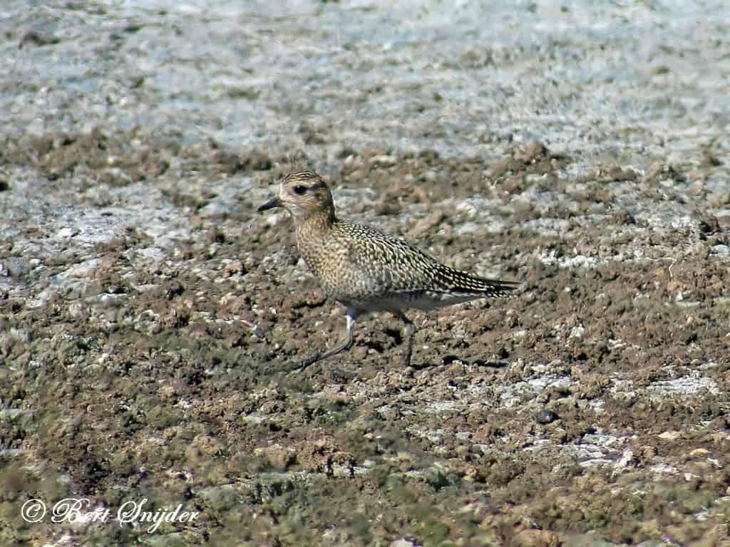 Goudplevier Vogelreis Portugal