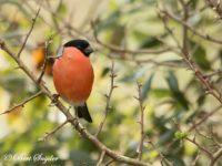 Goudvink Vogelreis Portugal