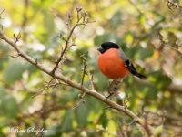 Goudvink Vogelvakantie Portugal