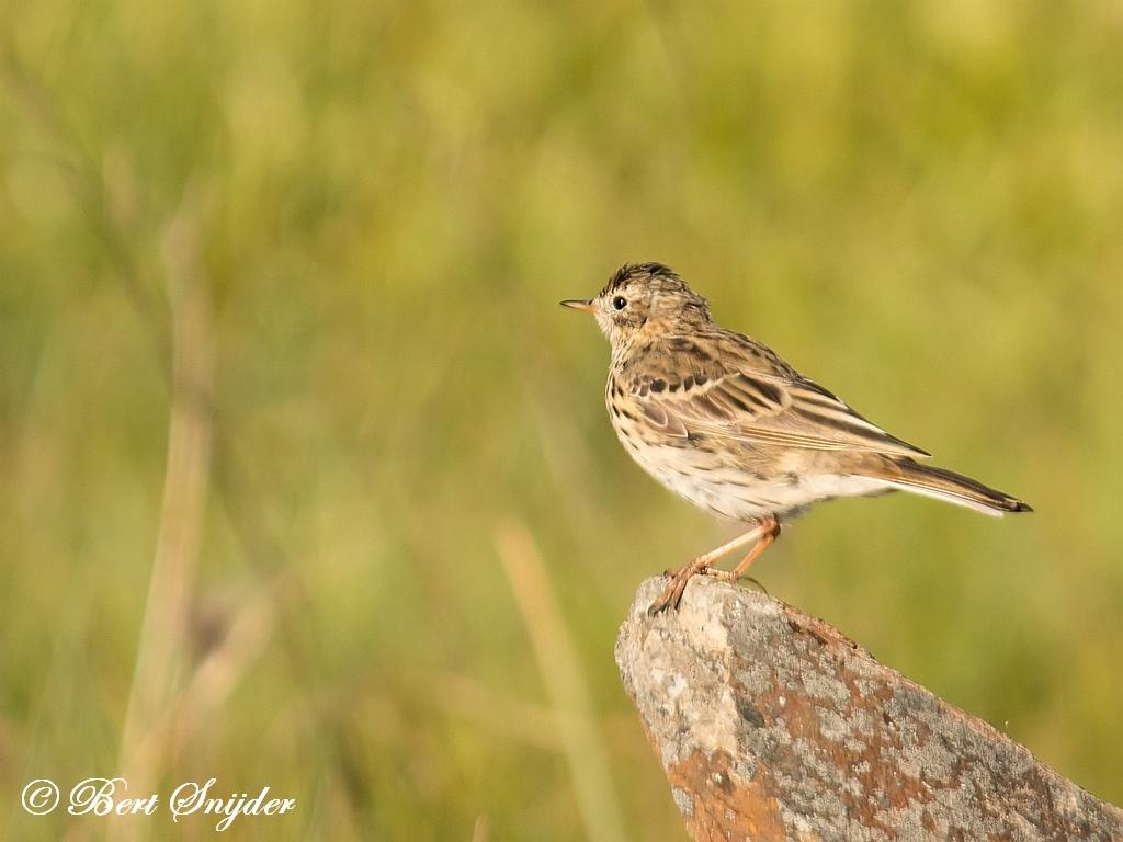 Graspieper Vogelreis Portugal
