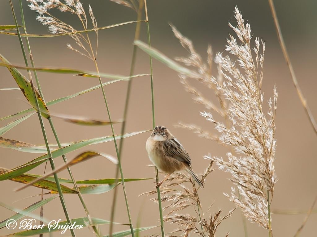 Graszanger Vogelfotografiereis Portugal