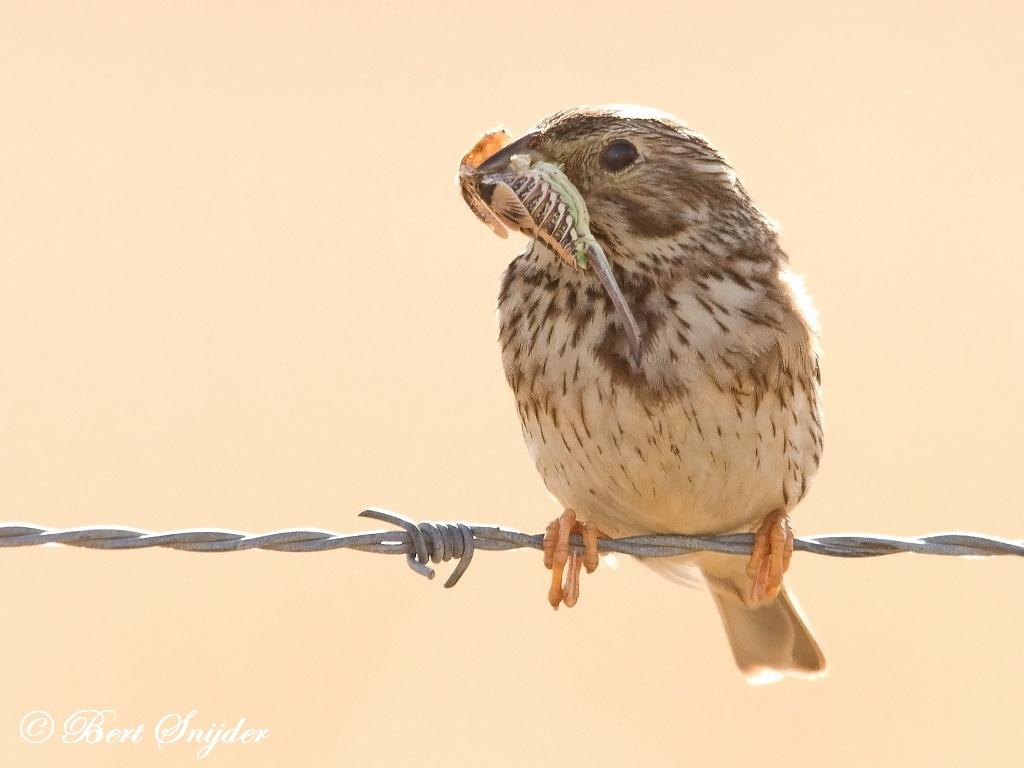 Grauwe Gors Vogelreis Portugal