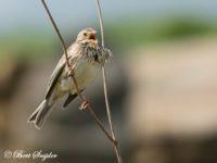 Grauwe Gors Vogelfotografiereis Portugal