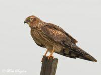 Grauwe Kiekendief Vogelfotografiereis Portugal