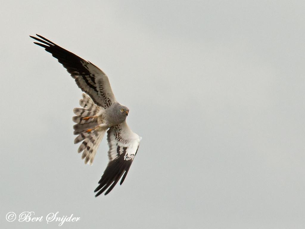 Grauwe Kiekendief Vogelvakantie Portugal