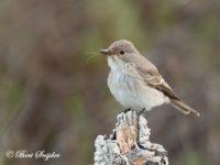 Grauwe Vliegenvanger Vogelvakantie Portugal