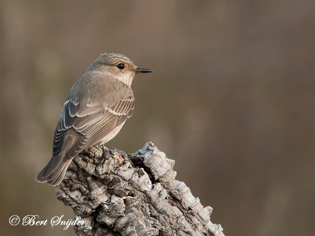 Grauwe Vliegenvanger Vogelreis Portugal