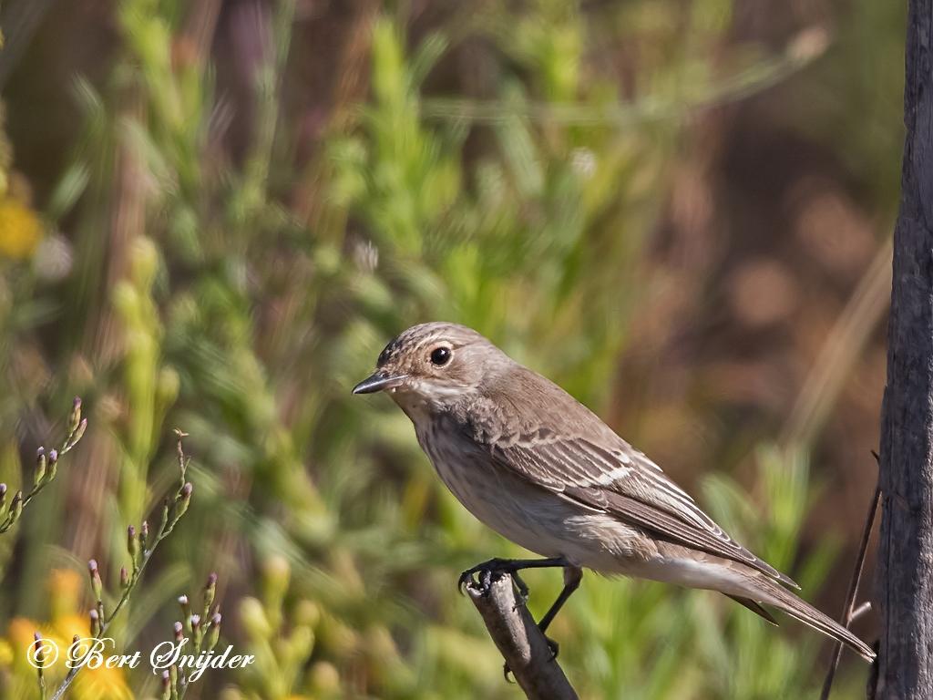 Grauwe Vliegenvanger Vogelhut BSP1 Portugal