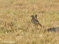 Griel Vogelfotografie reis Portugal