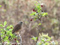 Grijze Gors Vogelvakantie Portugal