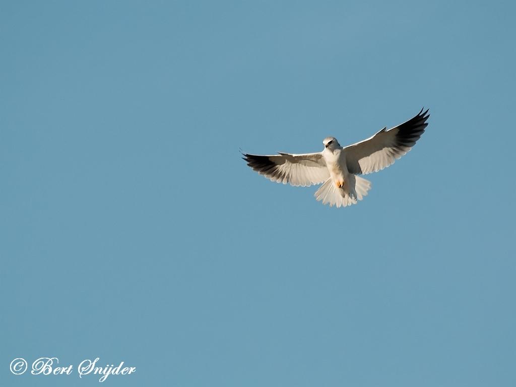 Grijze Wouw Vogelfotografie reis Portugal