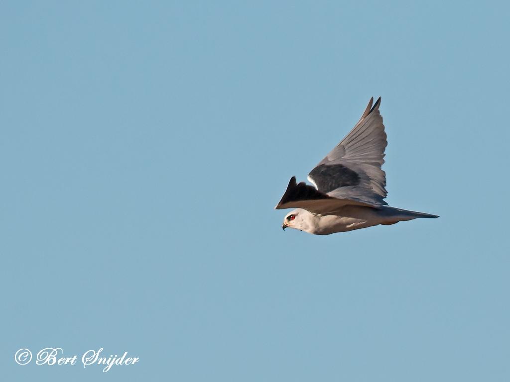 Grijze Wouw Vogelreis Portugal