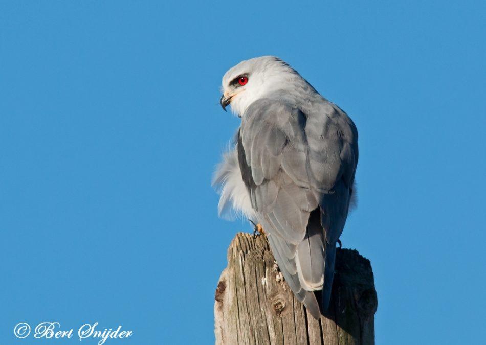 Grijze Wouw Vogelvakantie Portugal