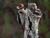 Grote Bonte Specht Vogelreis Portugal