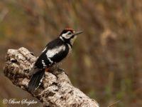 Grote Bonte Specht Vogelvakantie Portugal
