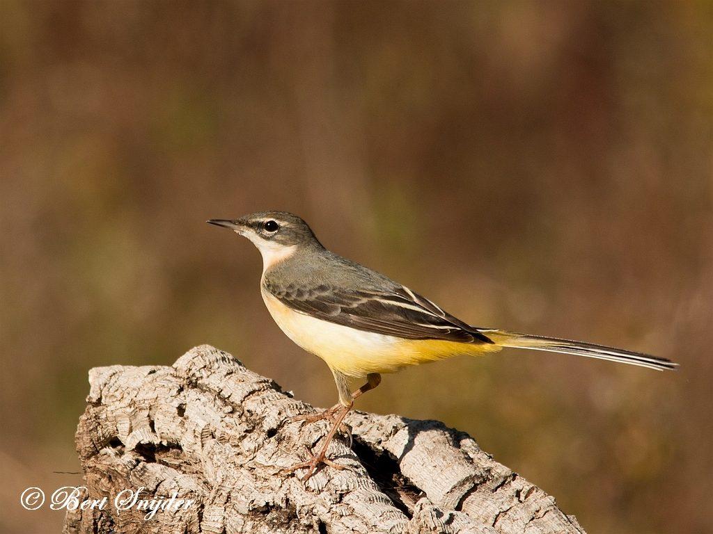 Grote Gele Kwikstaart Vogelvakantie Portugal
