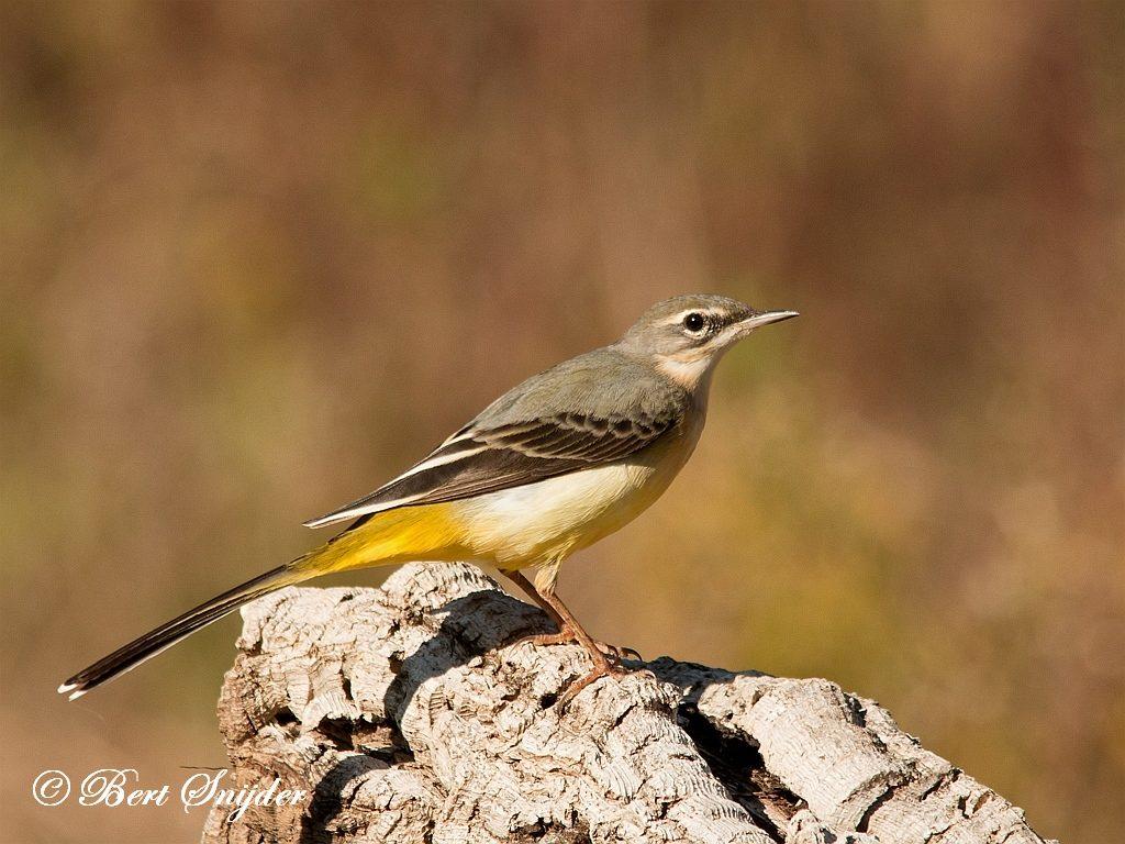 Grote Gele Kwikstaart Vogelreis Portugal