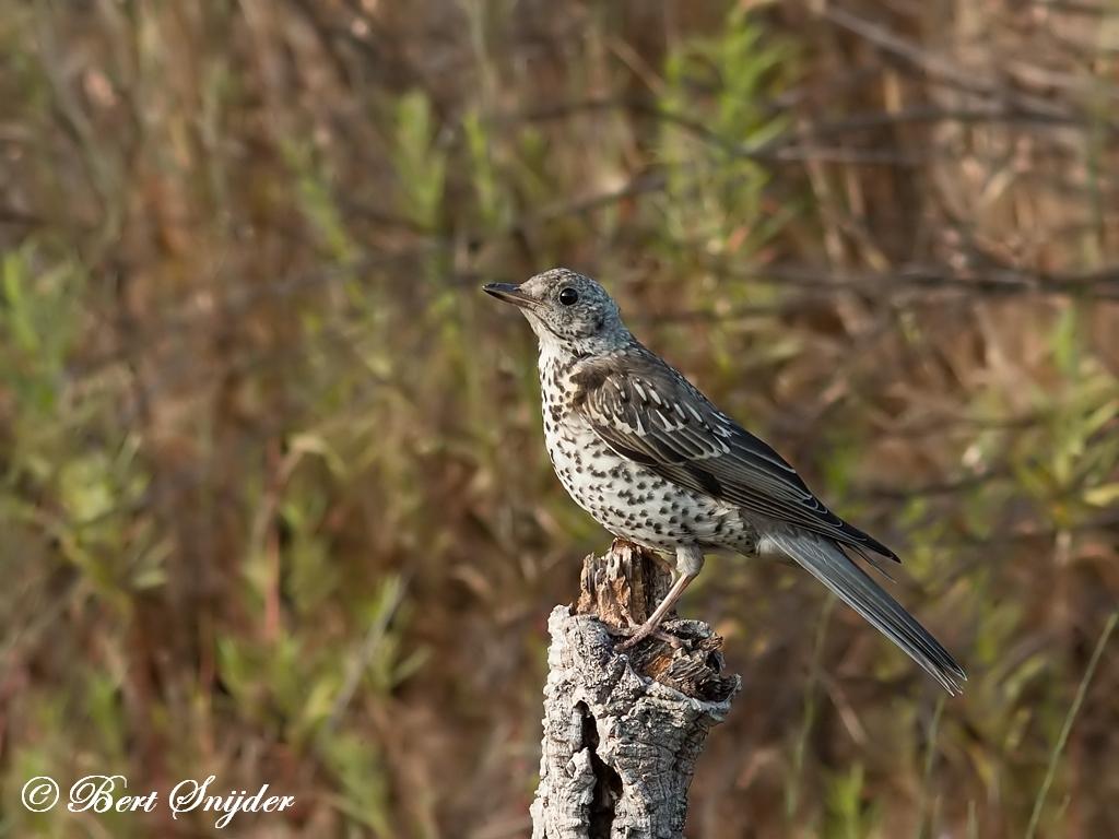 Grote Lijster Vogelhut Portugal
