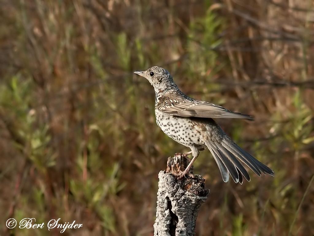 Grote Lijster Vogelreis Portugal
