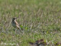 Grote Pieper Vogelvakantie Portugal